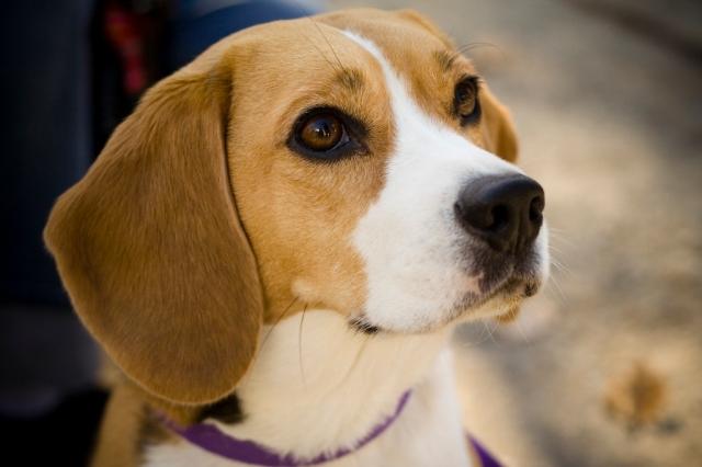 Beagle_portrait_Camry